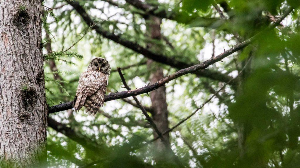 niseko-photogrpahy-owl